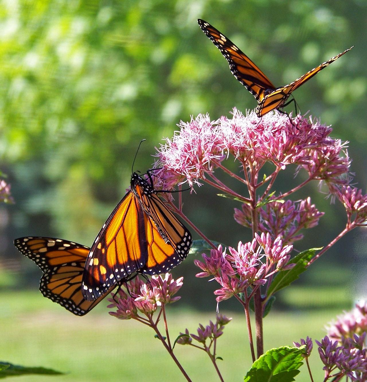 diervriendelijke tuin vlinders