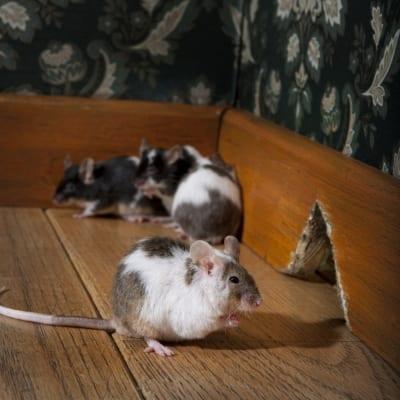 Muizen bestrijding