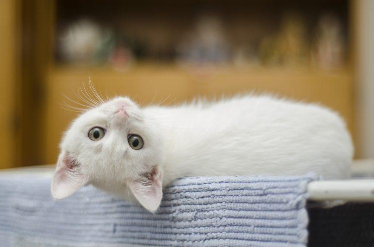 Vlooien bestrijden kat